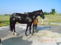 Cavallo da sella Oldenburg