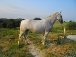 Cavallo da attacco Kladruber