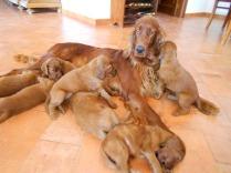 Cuccioli setter irlandese