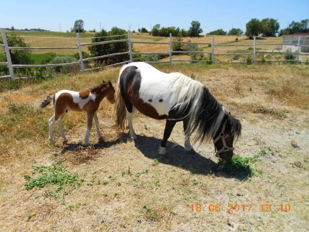 Pony Giorgio II